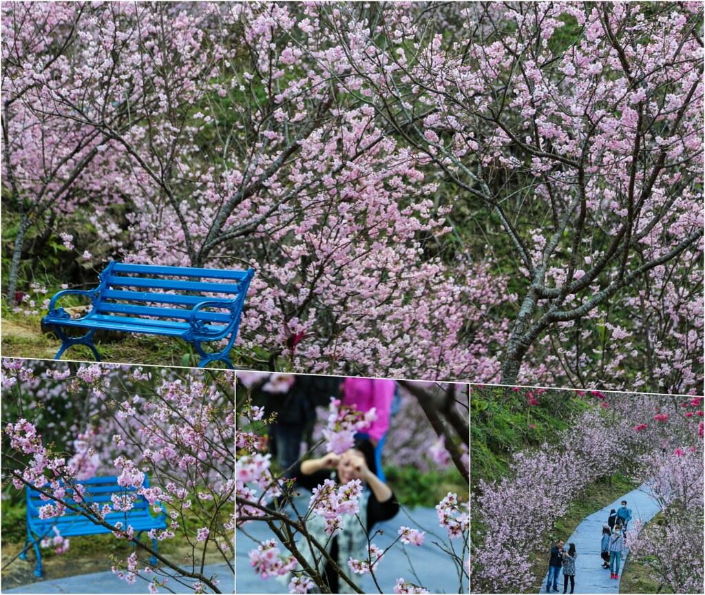(新北賞櫻景點)三峽大熊櫻花林,種植六種櫻花品種超過3000多棵櫻花輪流綻放~花期至4/30為止,快找時間來拍美照 @Nancy將的生活筆計本
